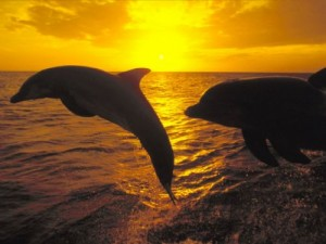 237_1_dolphins_at_sunset[1]