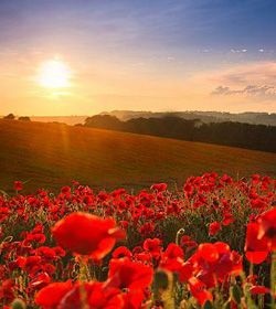238_1_anzac_day_poppies